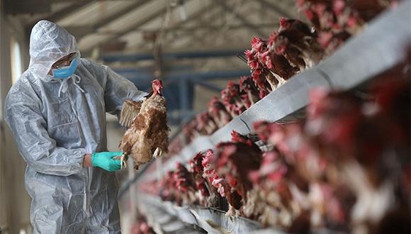ไข้หวัดนก H5N1