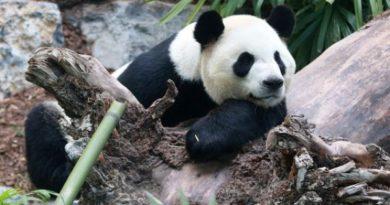 Panda at Calgary Zoo